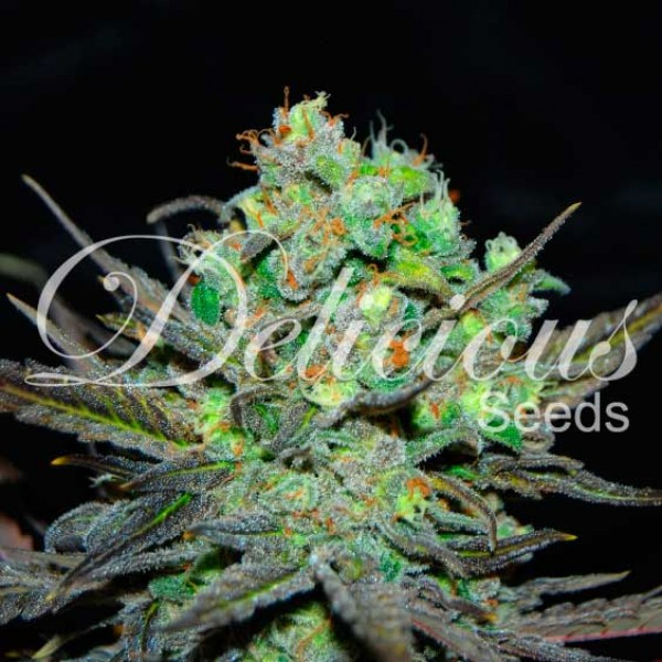 ELEVEN ROSES - DELICIOUS SEEDS - FEMINIZED SEEDS