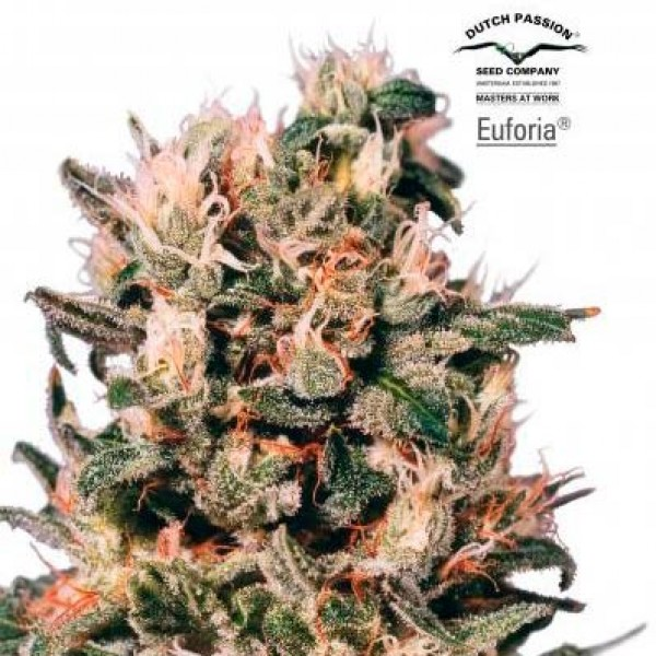 Euforia - 10 seeds regular (Dutch Passion) - Root Catalog - All Products