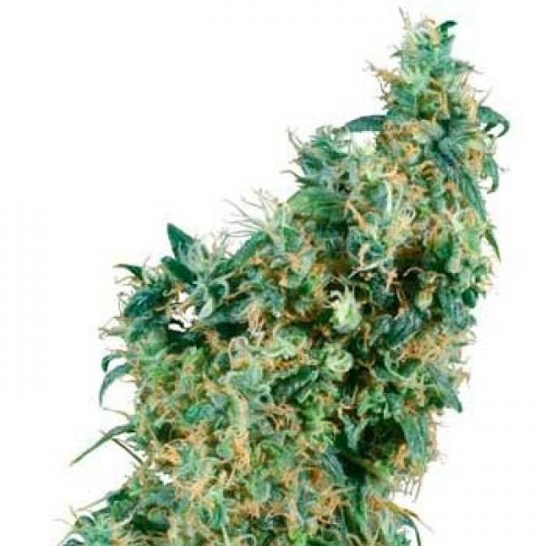 FIRST LADY REGULAR (SENSI SEEDS) - SENSI SEEDS