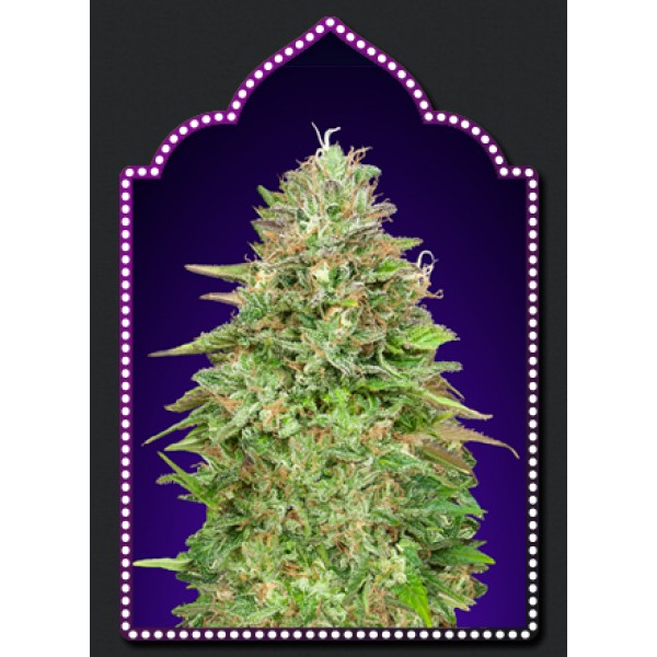 Critical Poison Fast Version - 5 seeds -  -