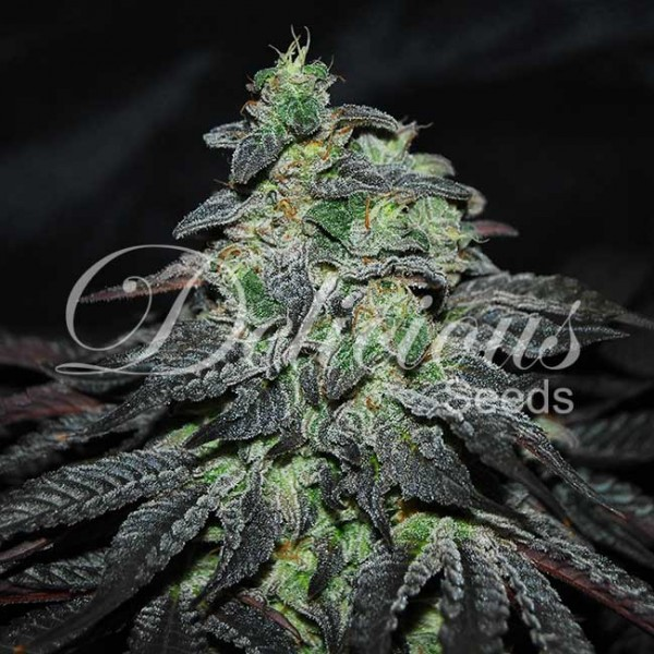 Golosa - DELICIOUS SEEDS - FEMINIZED SEEDS