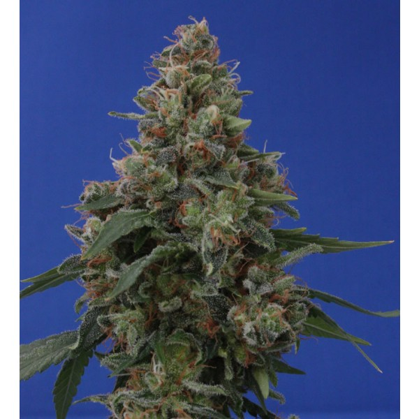 HASH PLANT: 10 seeds - VULKANIA SEEDS