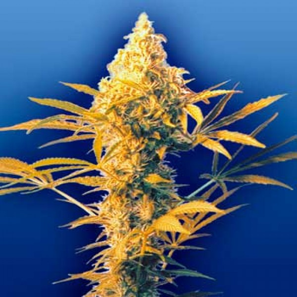 Haze Mist - 10 seeds - Flying Dutchmen