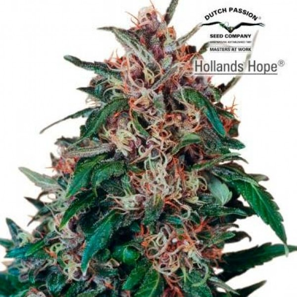 Hollands Hope - 10 seeds regular (Dutch Passion) - Root Catalog - All Products