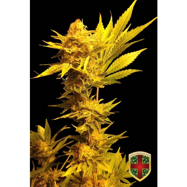 JACK GOLDEN AUTO - 1 UNDS. FEM - ALL IN MEDICINAL - Root Catalog - All Products