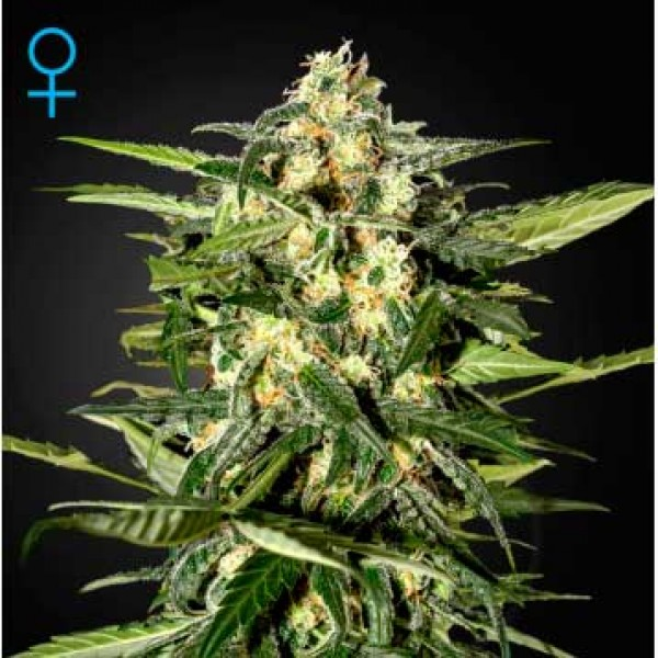 Jack Herer Auto - GREENHOUSE