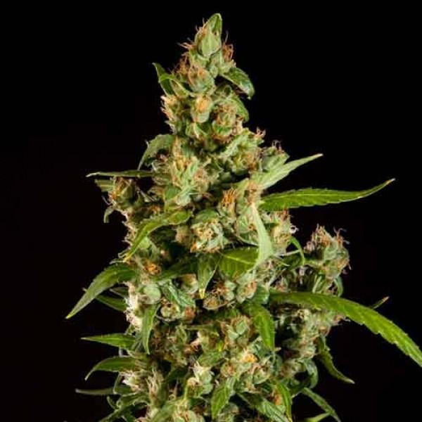 Jamaican Blueberry BX Regular - Philosopher Seeds
