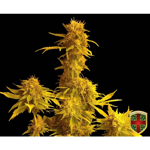 KALAMINOFF AUTO - 1 UNDS. FEM - ALL IN MEDICINAL - Root Catalog - All Products