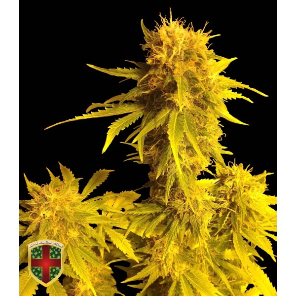 KALAMINOFF AUTO - 5 UNDS. FEM - ALL IN MEDICINAL - Root Catalog - All Products