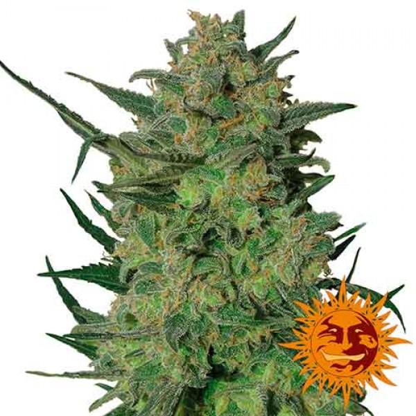 LSD - BARNEY'S FARM
