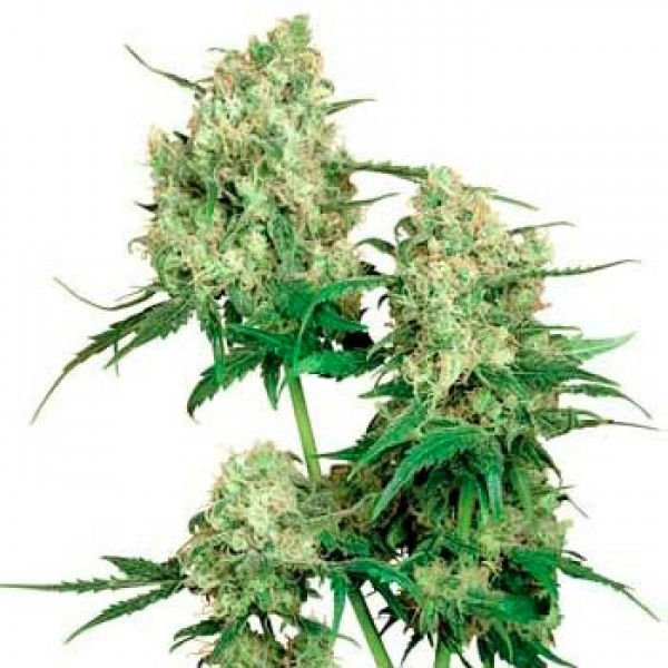 MAPLE LEAF INDICA REGULAR (SENSI SEEDS) - SENSI SEEDS