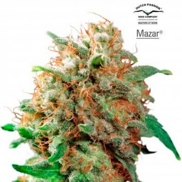 Mazar - 10 seeds regular (Dutch Passion) - Root Catalog - All Products