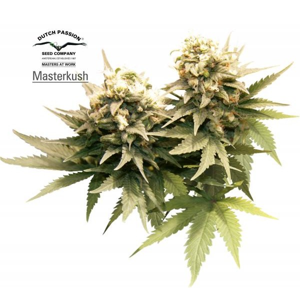 MASTER KUSH REGULAR - 10 seeds - Root Catalog - All Products