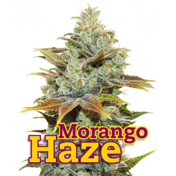 MORANGO HAZE 10 Seeds (FAMILY GANJAH) - Outlet