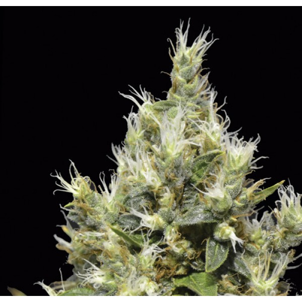 Northern - CBD SEEDS