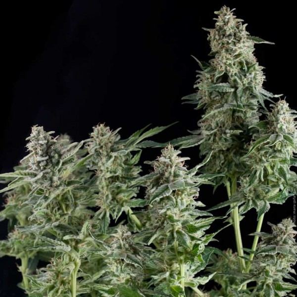 NORTHERN LIGHTS - PYRAMID SEEDS