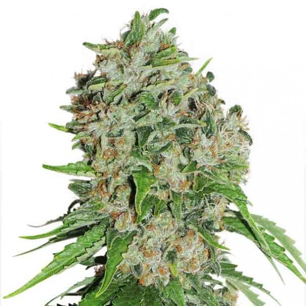 Outlaw - 3 seeds fem (Dutch Passion) - Root Catalog - All Products