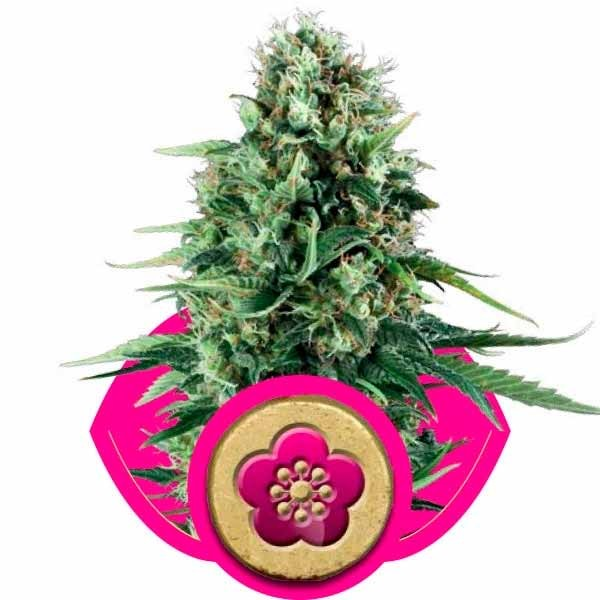 POWER FLOWER - ROYAL-QUEEN SEEDS