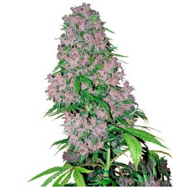 Purple Bud Fem - SENSI SEEDS