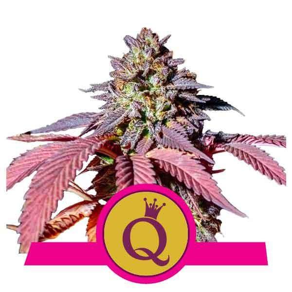 Purple Queen - ROYAL-QUEEN SEEDS