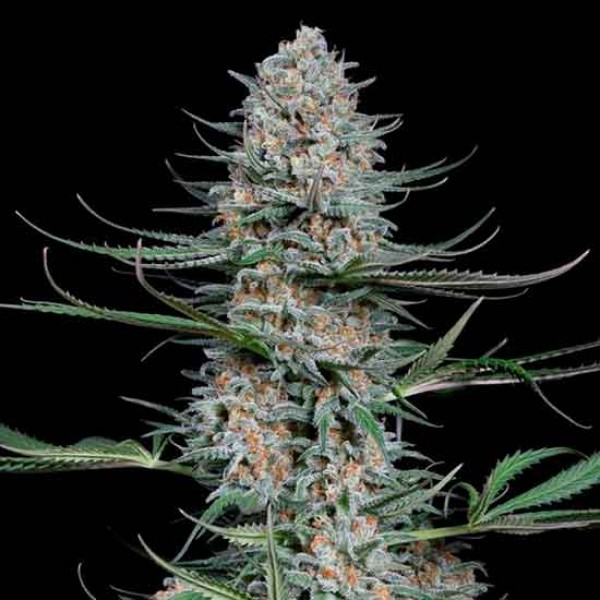 Quick Critical + - DINAFEM SEEDS