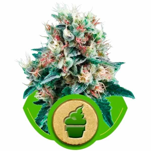 ROYAL CREAMATIC - ROYAL-QUEEN SEEDS