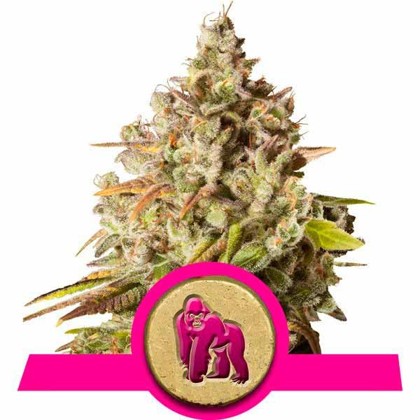 Royal Gorilla - ROYAL-QUEEN SEEDS