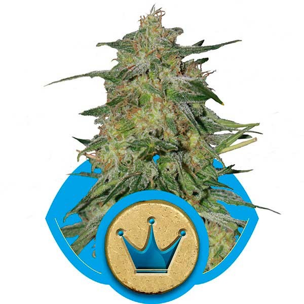 Royal Highness - ROYAL-QUEEN SEEDS