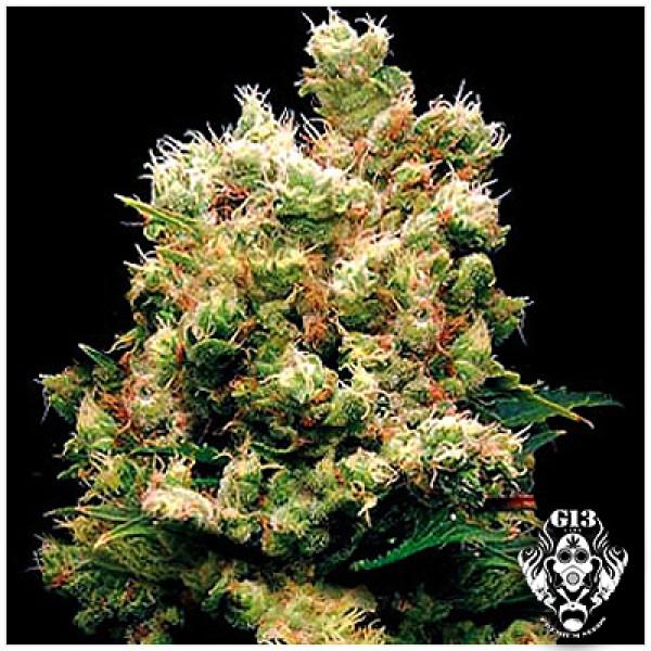 ROYAL KUSH - 5 seeds - G13 Labs