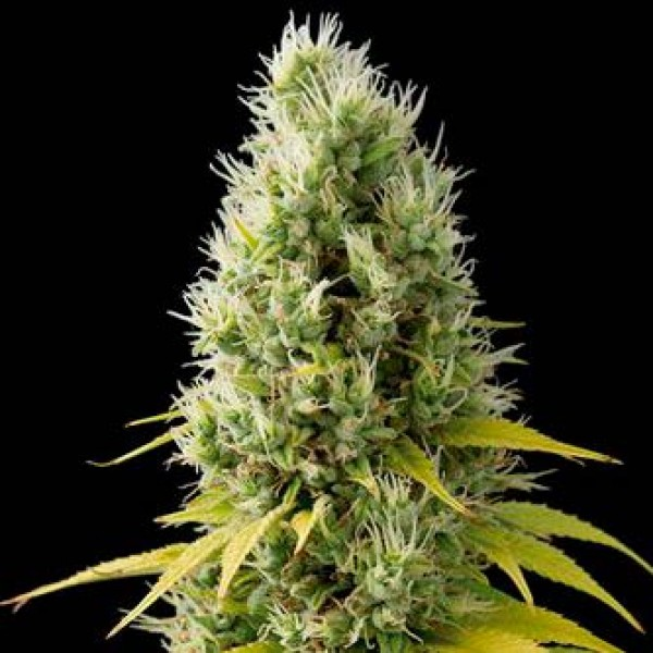 SHARK SHOCK CBD  - DINAFEM SEEDS