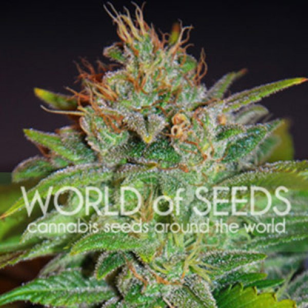 Skunk 47 - WORLDOFSEEDS - LEGEND COLLECTION