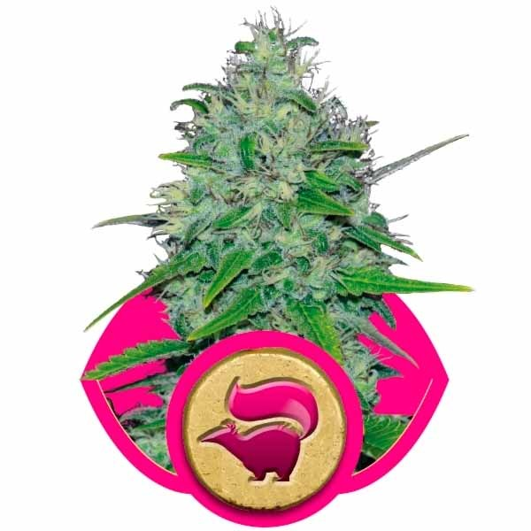 SKUNK XL - ROYAL-QUEEN SEEDS