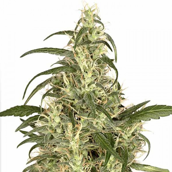 Skunk #11 - 5 seeds (Dutch Passion) - Root Catalog - All Products