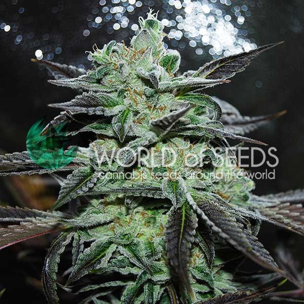 Strawberry Blue - WORLDOFSEEDS - LEGEND COLLECTION