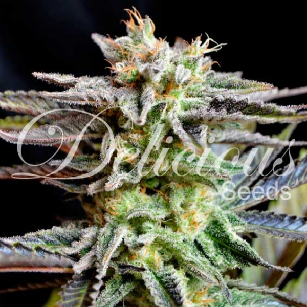 Sugar Black Rose - DELICIOUS SEEDS - FEMINIZED SEEDS