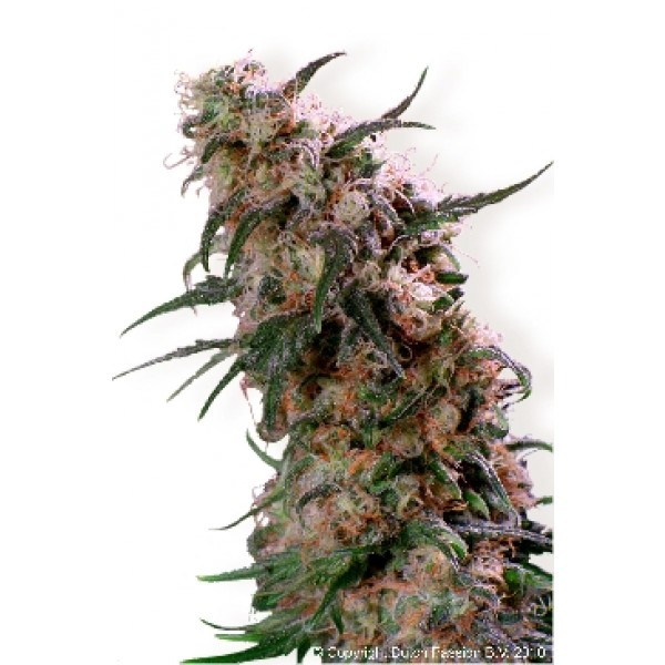 SUPER HAZE - 5 SEEDS REG - Root Catalog - All Products
