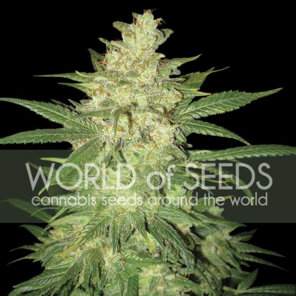 COLOMBIAN GOLD RYDER  - WORLDOFSEEDS - AUTOFLOWERING SEEDS