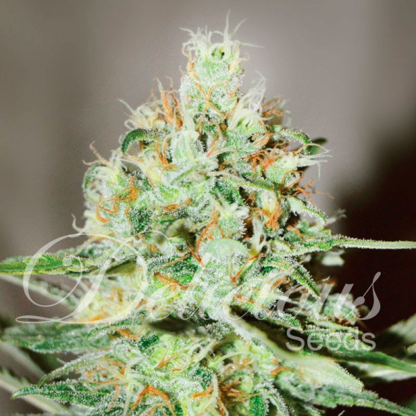 Jägg Kush - DELICIOUS SEEDS - FEMINIZED SEEDS