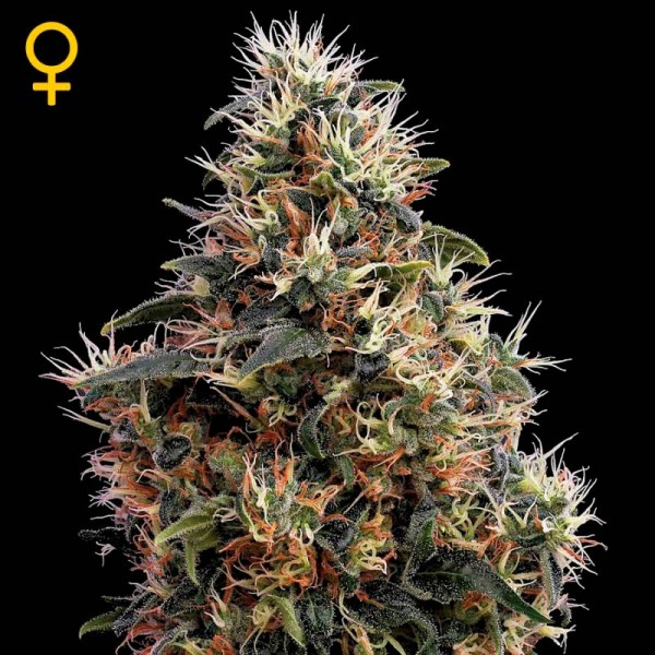 Sweet Mango Auto - GREENHOUSE