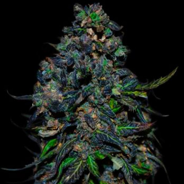 TAISON AUTO 10 Seeds (VIP SEEDS) - Outlet