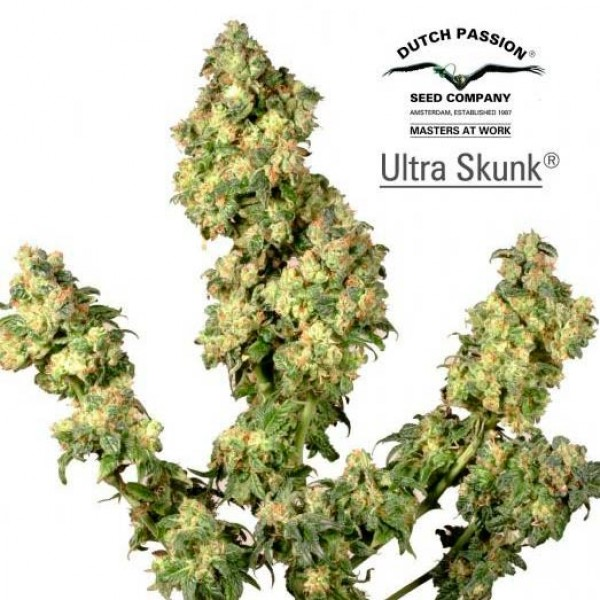 Ultra Skunk - DUTCH PASSION