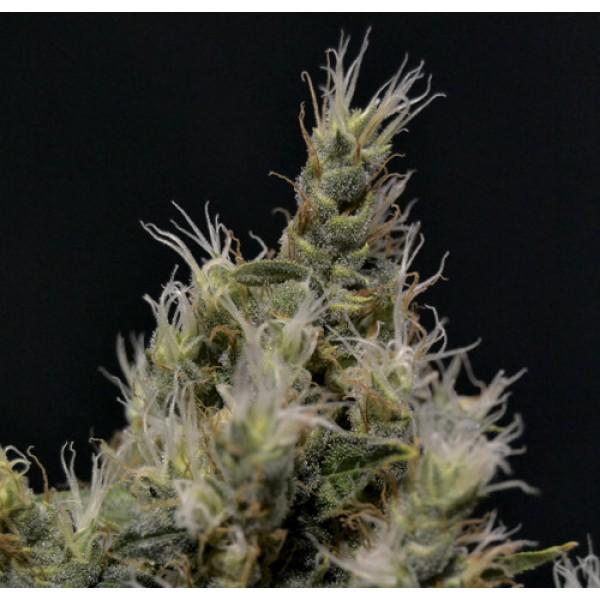 Vanilla Haze - CBD SEEDS