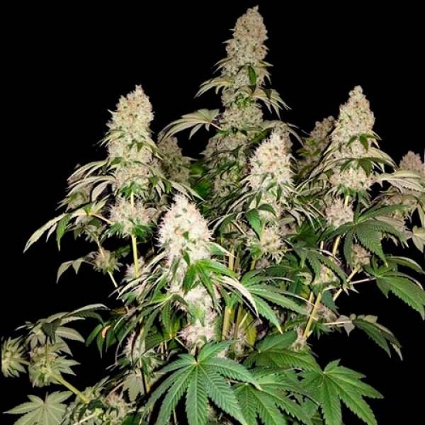 White Caramel Cookie  - 3 seeds - Sumo Seeds