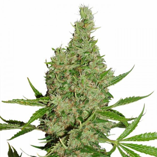 White Widow X The Ultimate - 10 regular seeds (Dutch Passion) - Root Catalog - All Products