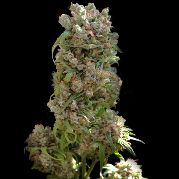 WHITE SPANISH 5 Seeds (VIP SEEDS) - Outlet