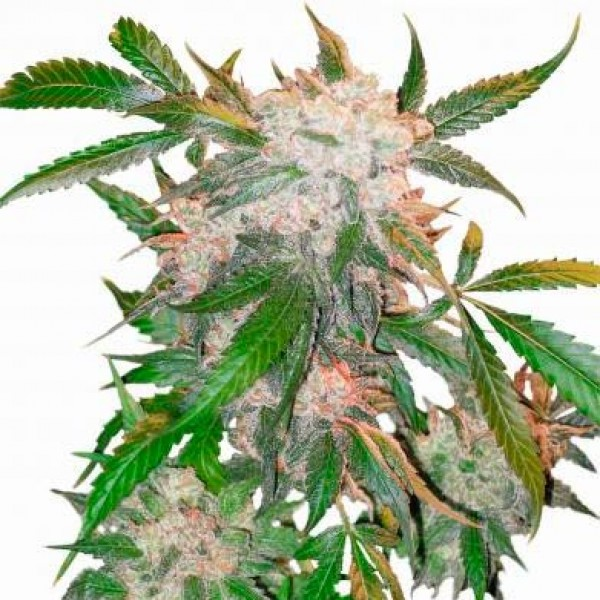 WHITE WIDOW REG - DUTCH PASSION
