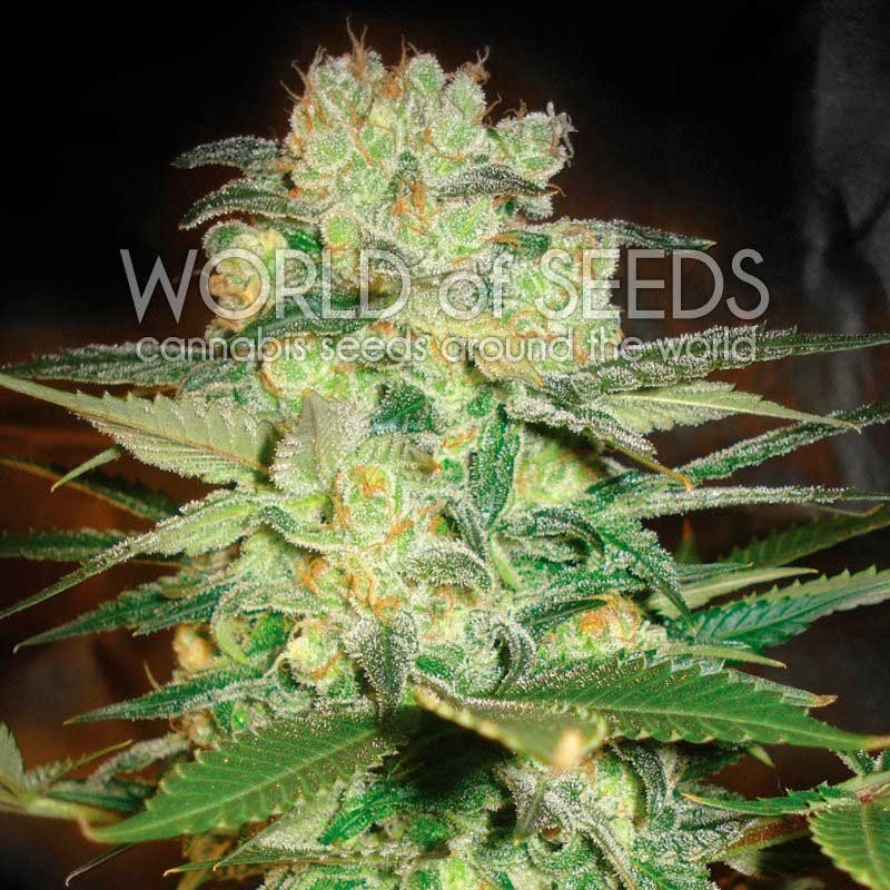 Afghan Kush x White Widow - MEDICAL COLLECTION - WORLDOFSEEDS