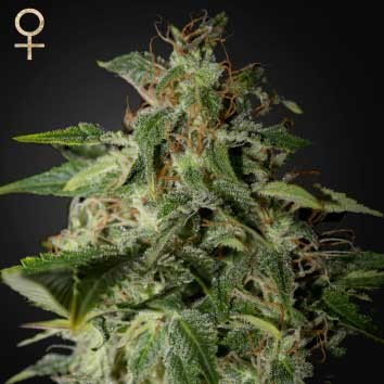 Afgooey (Strain Hunters) - Feminized - GREENHOUSE