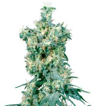 AMERICAN DREAM REGULAR (SENSI SEEDS) - SENSI SEEDS