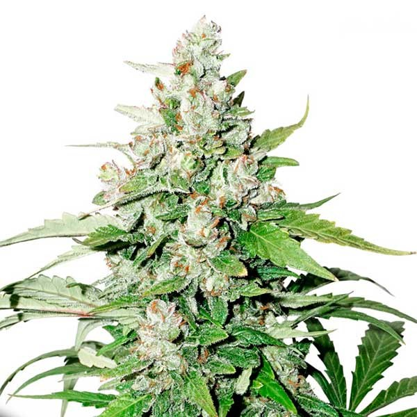 Auto Cinderella Jack - DUTCH PASSION